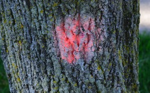 Tree is designated for removal by this marking, homeowner said.