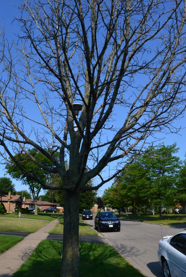 Stricken ash tree on north Welland boulevard awaits removal. (All photos by Joe Barkovich)