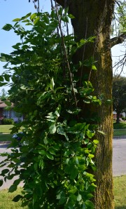 These unsightly epicormic shoots, or suckers,  sprout from tree trunks and roots when the ash tree is under stress due to the borers.