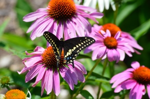 Butterflies are attracted to echinacea, like  purple coneflower.
