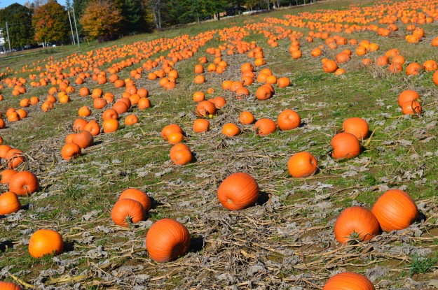 A field on Centre Street in Pelham, Ont., has a good supply of pumpkins. Workers were busy gathering them up and putting them into boxes for delivery or pickup when this photo was taken Thursday afternoon.(Photo by Joe Barkovich)