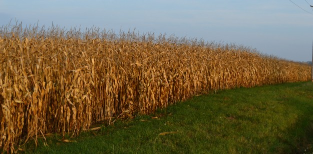 Rows of corn stalks go on as far as the eye can see in this field on Effingham Street in Pelham, Ont. Country roads, many of them narrow and winding, offer pretty vistas on colourful fall mornings like earlier today. (Photo by Joe Barkovich)