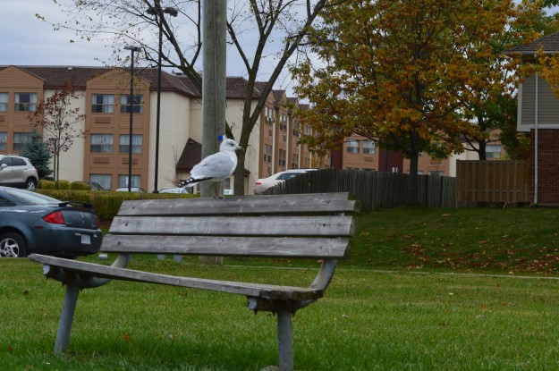 """A lone seagull perches on a park bench near the recreational canal south of the Lincoln Street bridge in Welland today. The rest of the """"team"""" was on a patch of grass near the water's edge.(Photo by Joe Barkovich)"""