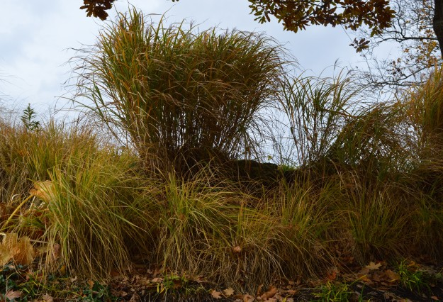 On a gently windswept day, fall grasses did a tantalizing dance in Welland, Ontario's Chippawa Park. You can almost visualize the fronds swaying back and forth. I was lucky, I got to watch! (All photos by Joe Barkovich)