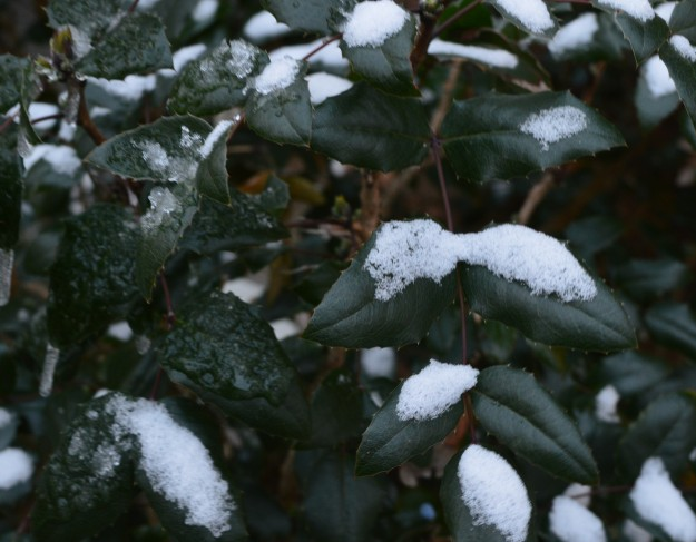 A light dusting of snow on leaves this morning. (All photos by Joe Barkovich)