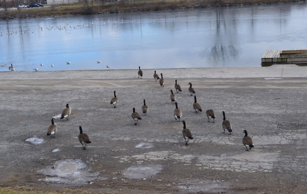 Canada geese head toward the Welland Recreational Waterway for a dip in the drink. (Photo by Joe Barkovich)