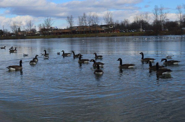 Canada geese, foreground, enjoy a swim and a gathering of seagulls, background, sit on thin ice in the Welland Recreational Waterway Tuesday afternoon. (Photo by Joe Barkovich)