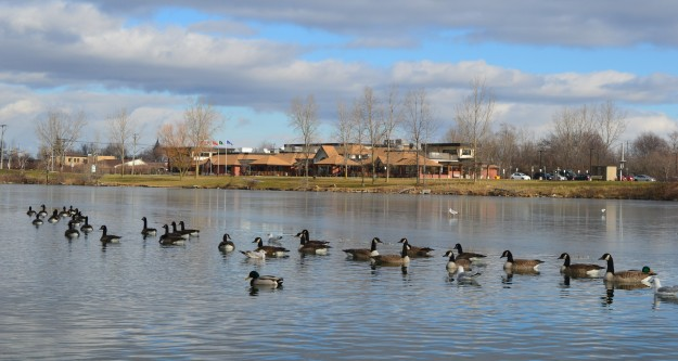 Canada geese parade along the Welland Recreational Waterway Tuesday afternoon in front of a handful of admiring  onlookers. One minute to post time! (Photo by Joe Barkovich)