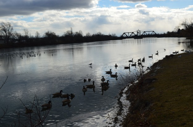 Canada geese hug the shoreline of the Welland Recreational Waterway Tuesday afternoon. The seagulls, meanwhile, seem to prefer the deep end. (Photo by Joe Barkovich)