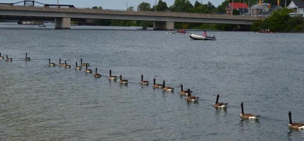 Feathery floatilla in Welland Recreational Waterway, July 2014.