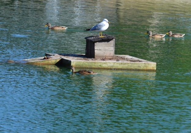 Lone gull is undisputed King of the Castle, Chippawa Park pond, August, 2014.