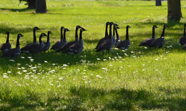Stop, geese crossing! Canal bank, Dain City area, August 2014.