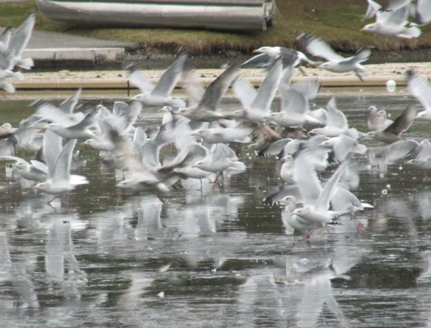 Gulls in flight, International Flatwater Centre, December 2014.