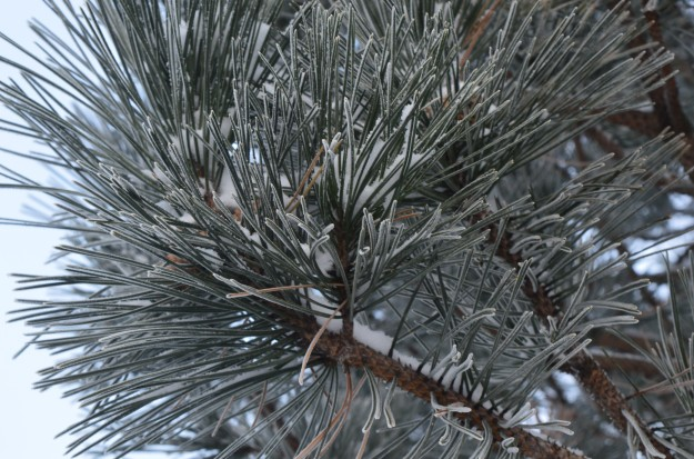 These pine needles look spruced up after the  light dusting of snow, ready for admiring eyes of passersby who take notice. (Photo by Joe Barkovich)