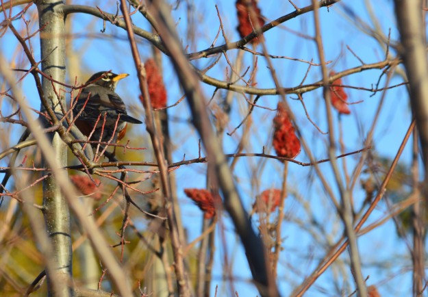 Sure sign of spring. A robin gazes upon sumac pods in a thicket  on the weekend just gone by. The pods provide a tasty treat. (Photo by Joe Barkovich)