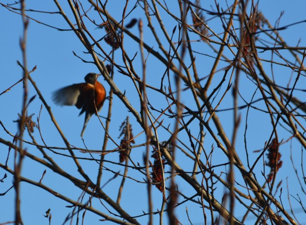 Robins found nourishment in a patch of sumac early Saturday evening in Welland. (All photos by Joe Barkovich)