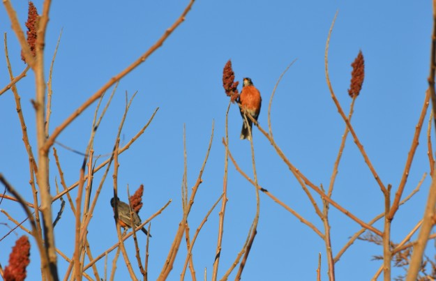 Robins perch on branches to dine on sumac pods in a thicket early Saturday evening. (Photos by Joe Barkovich)
