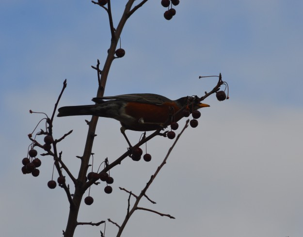 A particular berry has caught the eye of this  robin who was enjoying dinner early Tuesday evening in Welland. (Photo by Joe Barkovich)