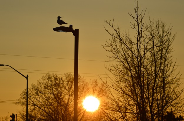 Seagull perched atop a light standard, today 6:38 a.m., waiting for the light. (Photo by Joe Barkovich)