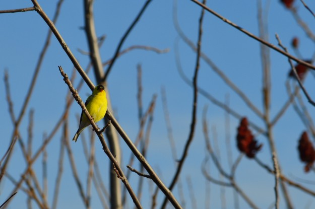 This yellow finch, seen here amidst sumac branches, hammed it up for the camera early Tuesday evening.(Photos by Joe Barkovich)