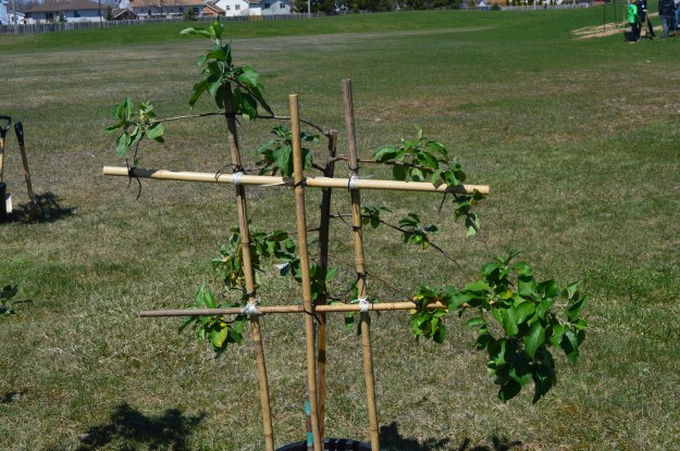 Fruit trees are being trained to grow horizontally, as shown above, rather than vertically. One of the reasons is so that ladders will not needed in harvesting the fruit. Today's event was funded by a $3,520 grant the college received in March  from the Niagara Community Foundation – a charitable organization that aims to improve the quality of life in Niagara through philanthropy  (All photos by Joe Barkovich)