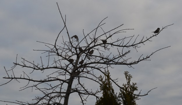 Sparrows gather this morning in the limbs of a tree that has seen better days. Wonder what they had to talk about? (Photo by Joe Barkovich)