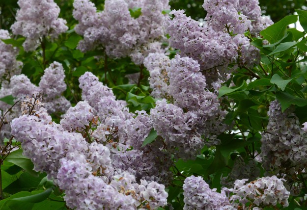 Lilacs aren't just a treat for the eye. The old-fashioned deciduous shrub has fragrant, late-spring flowers that grow in large clusters. Flowers are often cut and brought indoors, where the fragrance is enjoyed for days. (Photo by Joe Barkovich)