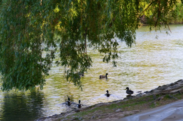 City Shorts Art: Come On In, The Water's Fine - A family of ducks having a swim in the Welland River off Merritt Island. (Photo by Joe Barkovich. )