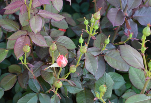 The climbing rose, America, is early  to open.(Photo by Joe Barkovich)
