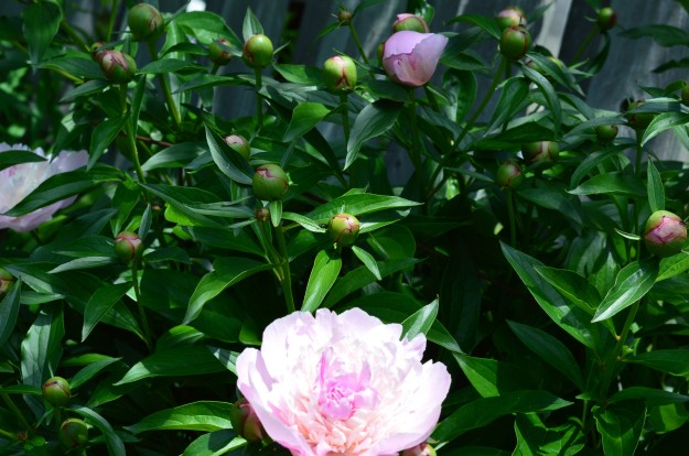 Soft pink peonies are  scene stealers the next few days  in a backyard bed. (Photo by Joe Barkovich)