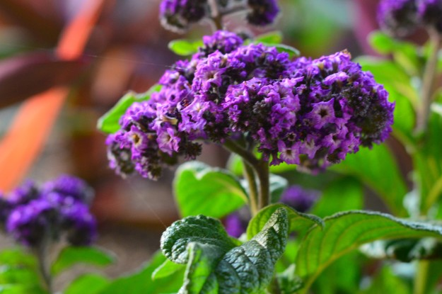 Heliotrope is ideal for sunny beds, patios, window boxes and the like. Butterflies are attracted to the garden by  its very fragrant  purple or blue flowers, which also are used in perfume. (Photo by Joe Barkovich)
