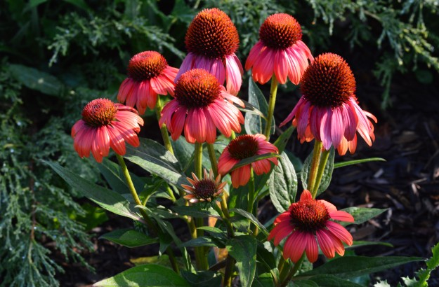 These Monday morning coneflowers scream out: 'After that weekend, bring on the sun!!! (Photo by Joe Barkovich)