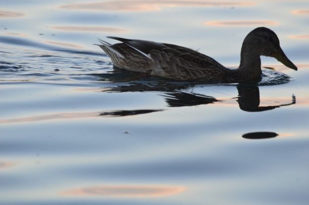 A duck enjoys a swim on the sun splashed Welland Recreational Waterway Thursday evening. (Photo by Joe Barkovich)