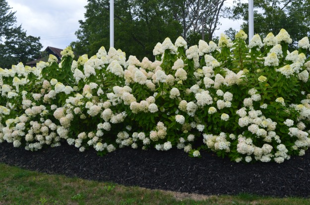 This gorgeous display of blooms is hydrangea paniculata, photographed at Cooks Mills Peace Park. It's also found outside the Welland Community Wellness Centre and both plantings are by the City of Welland's horticulture crew. (Photo by Joe Barkovich. Gadabout Gardener is a recurring feature on the blog.)