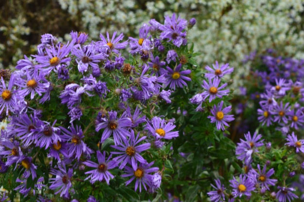 Clumps of the perennial, purple aster, are found scattered on the berms and along the trail. (All photos by Joe Barkovich)