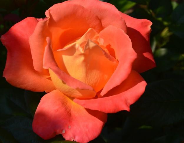 City of Welland rose (File photo/Joe Barkovich)