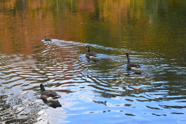 Canada geese enjoy a Sunday afternoon swim at the trout pond, St. John's Conservation Area, Pelham. (Photo by Joe Barkovich)