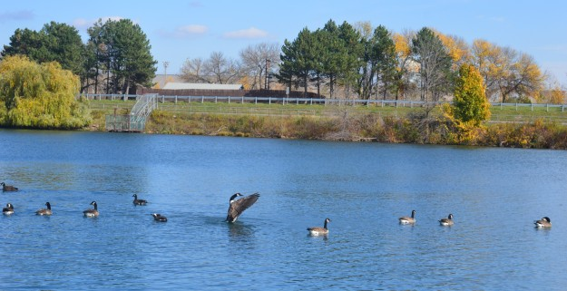 Canada geese enjoy a leisurely outing in the Welland recreational waterway Thursday afternoon, except for this one, who put on a boisterous show of flapping its wings over and over. (Photo by Joe Barkovich)