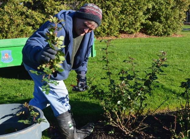 Frank Reddon, a gardener with the City of Welland, autumn pruning roses in Chippawa Park this morning. A primer on putting roses to bed for the winter will appear later today on the blog. (Photo by Joe Barkovich)