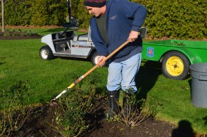 Reddon uses a hoe to move soil to the pruned bush. If your beds have ample soil, may not be necessary to