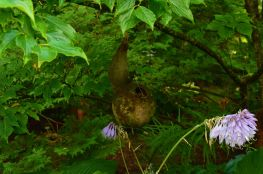 Look closely and you will find a wren house tucked away beneath the leaves...