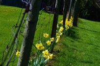 May: Fence straddlers, Olde Towne Gardens, Niagara-on-the-Lake.